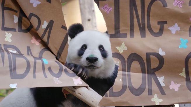 Geburtstagskuchen für einen Panda: Bai Yun wird 26