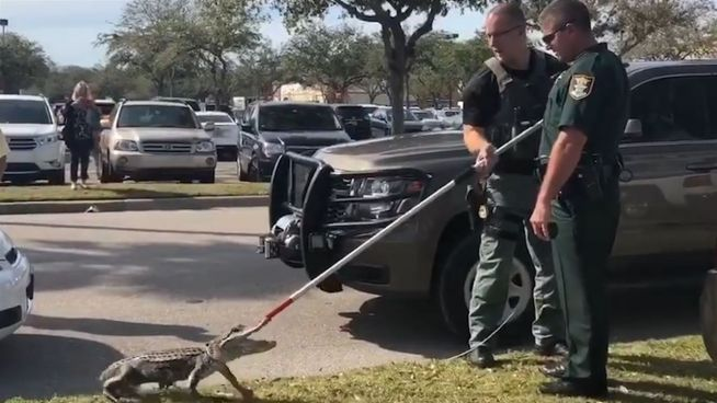 Mordshunger? Alligator-Alarm auf Supermarktparkplatz