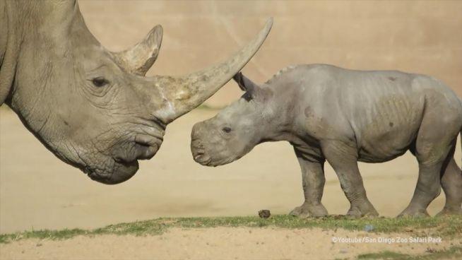 Neun Tage jung und neugierig: Nashorn entdeckt die Welt