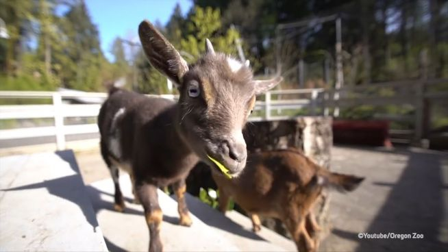 Abenteuerlustig: Kleine Ziege besucht Löwe und Stachelschwein