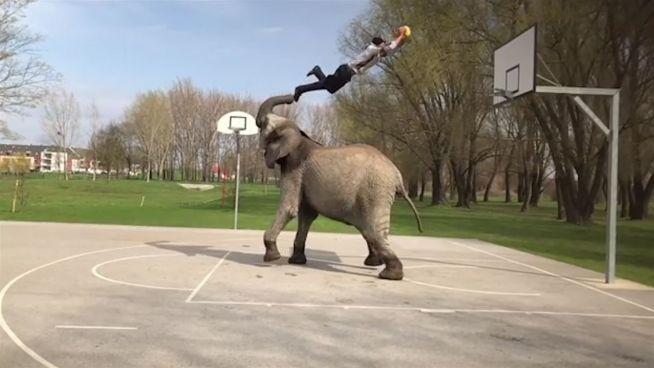 Volltreffer: Elefant wird zum Basketball-Star