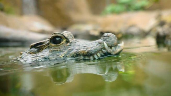 Neues Zuhause: Mini-Krokodil zieht um