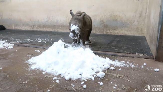 A, B, C, das Baby-Nashorn spielt im Schnee