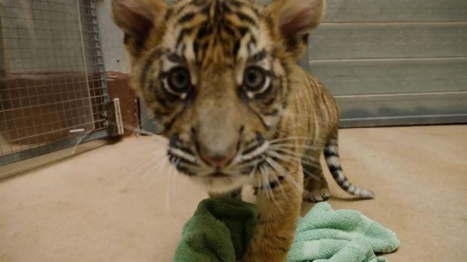 Glück im Unglück: Zweite Chance für Tigerbabys