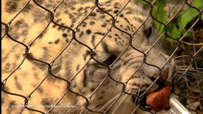 Fütterung mit Hintergedanken: Leopardendame beim Gynäkologen
