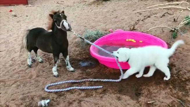 Tierisches Tauziehen: Pony Chloe gegen Welpe Caliber