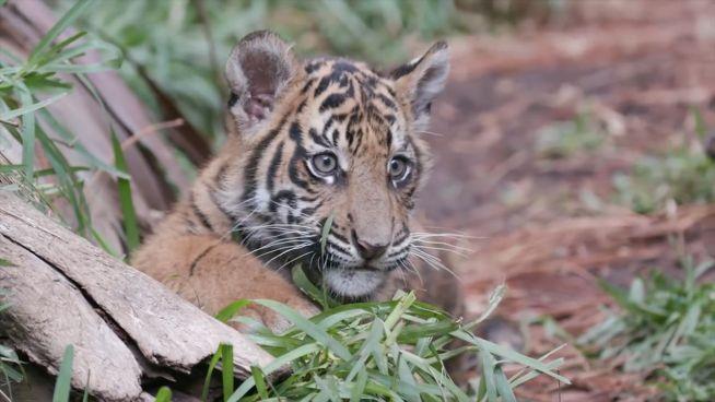 Flauschiger Nachwuchs: Tigerbabys kuscheln