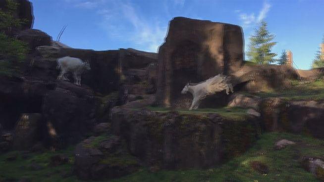 Im Sportrausch: Ziegen im Oregon Zoo