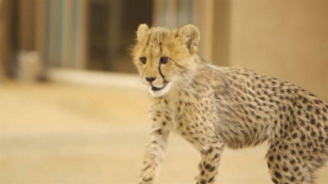 Roketi: Baby-Gepard rast raketenmäßig durch den Zoo