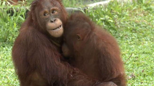 Zeit zum Kuscheln: Diese Orang-Utans haben sich lieb