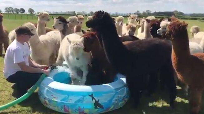 Nasse Invasion: Alpakas erobern das Planschbecken