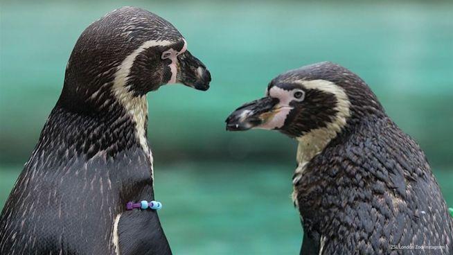 Einige Pinguine sind schwul – findet euch damit ab!