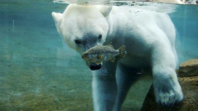 Der Einsatz zählt: Eisbär kämpft um Nahrung