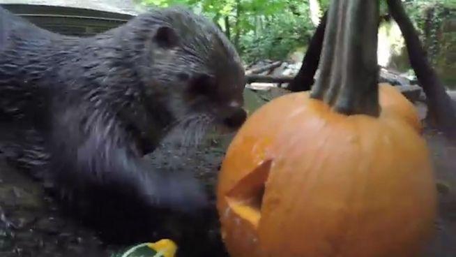 Kürbisparty für Otter: Schwimmübung für die Kleinen