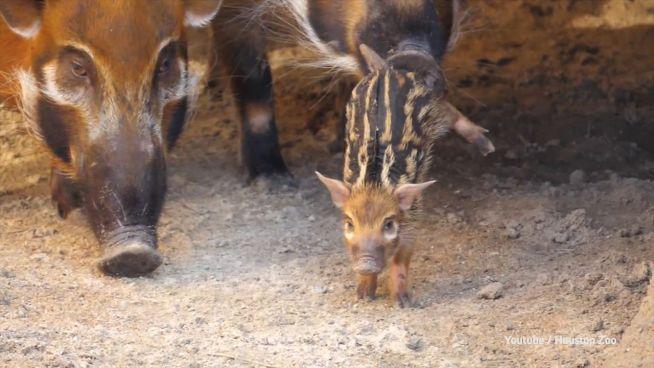 Kleines Glück: Erste Pinselohrschweinchen in Houston