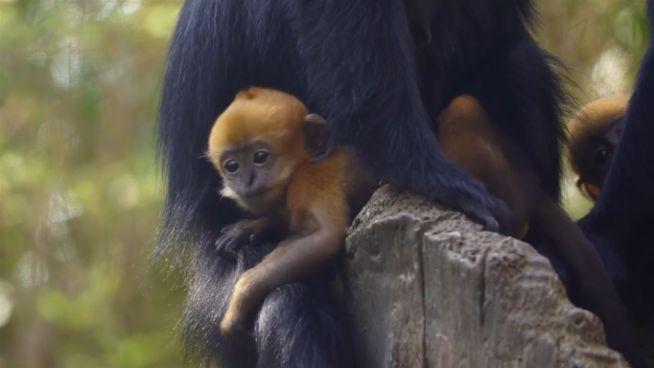 Tierischer Nachwuchs: Affenbabys verzaubern Los Angeles