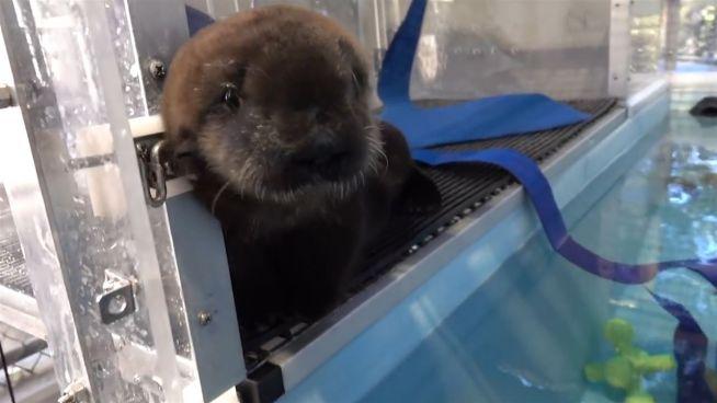 Flaschenkind '805': Otter-Baby im Oregon Zoo