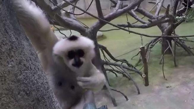 Vorwitzig: Süße Gibbon-Affen ganz, ganz nah