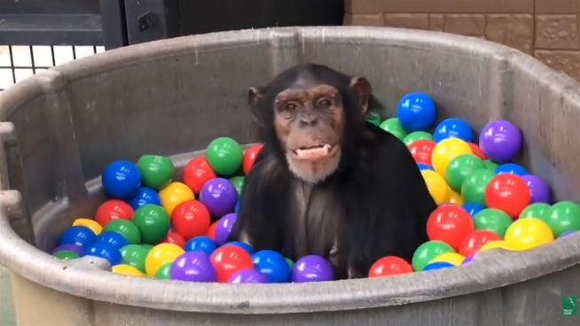 Ein Sprung ins bunte Becken: Schimpansen im Bällebad