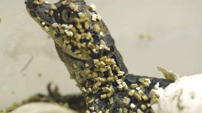 Süßer Reptiliennachwuchs: Krokodilbabys geschlüpft
