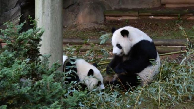 Putzige Pandas: Ya Lun und Xi Lun auf Keksjagd
