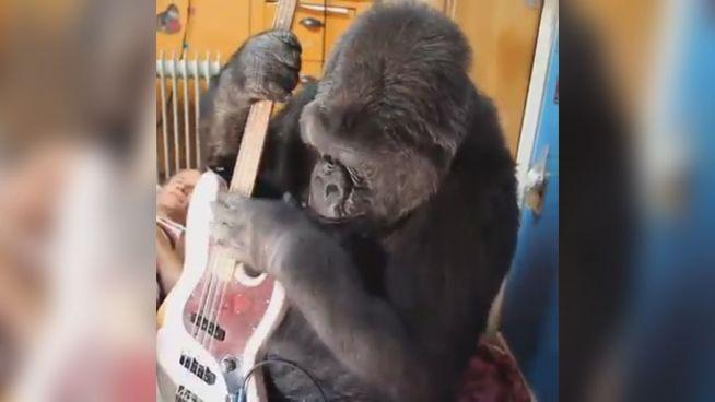 Musiker Flea ist begeistert: Gorilla spielt seinen Bass